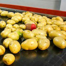 Potato-conveyor-belt 1024x1024